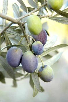 His branches shall spread, and His beauty shall be as the olive tree. •  Hosea 14:6