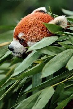 bear, anim kingdom, redpanda, red pandas, critter, wildlif, creatur, natur, ador