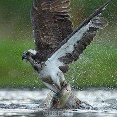 'STRIKE POINT' - An Osprey snatches a fish. Shot taken in Scotland. By @leefisher_wildlife   #osprey