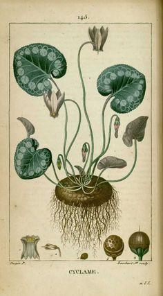 img/dessins-gravures de plantes medicinales/cyclame (cyclamen), pain de…