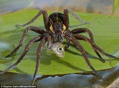 Big spider eating a fish yuk!                                                                                                                                                     More