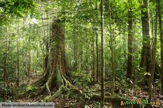 What Is A Tropical Rainforest? Rainforest Food Web, Amazon Rainforest Trees, Rainforest People, Rainforest Tribes, Rainforest Crafts, African Rainforest, Rainforest Birds, Rainforest Theme, Colombia