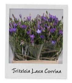 Triteleia Laxa Corrina - Holex Insights newsletter week 16