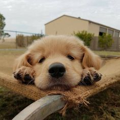 Some of the things we all enjoy about the Friendly Golden Retriever Puppy Super Cute Puppies, Cute Baby Dogs, Cute Dogs And Puppies, Doggies, Corgi Puppies, Adorable Puppies, Cute Pups, Pet Dogs, Puppy Goldendoodle