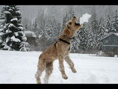 Some #dogs really love eating snow! #funnydogs