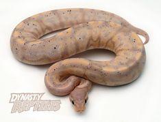 Banana Cinnamon Calico Ball Python