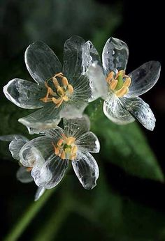 "Diphylleia grayi-also known as ""Skeleton Flower,"" petals turn translucent when wet."