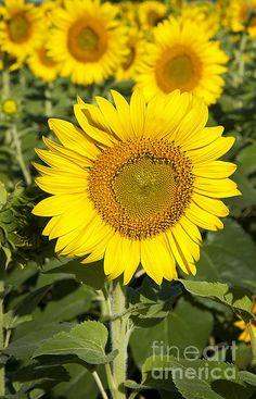 SunFlower Standout by Lee Craig