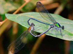 pára tudo...Nome: Umma GummaEsta nova libélula é apenas uma das 60 espécies recém-descobertas na África e revela... - Jens Kipping