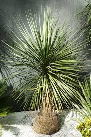 Image result for australian native palms