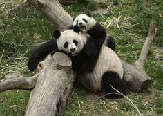 Which bears took home Giant Panda Zoo Awards?   PBS NewsHour