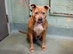 SAFE --- SUPER URGENT - 11/23/14 Brooklyn Center   My name is MAMAS. My Animal ID # is A1021043. I am a female brown and white pit bull mix. The shelter thinks I am about 6 YEARS old.  I came in the shelter as a STRAY on 11/18/2014 from NY 11691, owner surrender reason stated was OWNER DIED.   https://www.facebook.com/photo.php?fbid=909982092348004