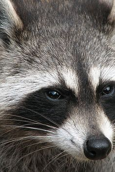 Raccoon Racky was the name of our pet raccoon
