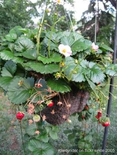 Hanging Strawberry Plants – Tips For Growing Strawberries In Hanging Baskets