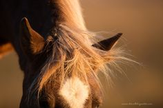 Surfer Dude of Chincoteague. Photographing the wild ponies of Chincoteague at Sunset was a dream.