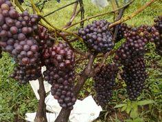 esta variedad fue hecha por medio de una polinizacion con uvas americanas