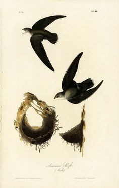Audubon Bird Prints Birds of Prey Owl Hawk Eagle from Birds of America 1842