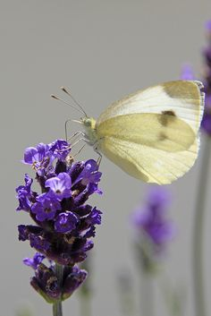 Brimstone Butterfly on Lavender ✿⊱╮