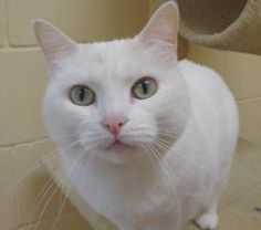 I want this kitty!!! Gabby is an adoptable Domestic Short Hair Cat in Gainesville, TX. Gabby is a 3 year old white short hair cat. Shehas the most beautifulemerald green eyes. She is friendly and gets along well with ...