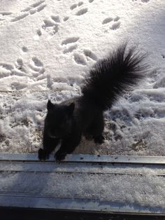 Black squirrel?! That's so awesome!