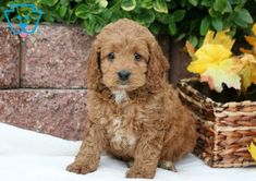 Diamond | Cockapoo Puppy For Sale | Keystone Puppies Cockapoo Puppies For Sale, Cute Puppies, Cute Backgrounds For Iphone, Love At First Sight, Diamond, Dogs, Fun, Animals, Fin Fun
