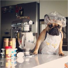French Bulldogs Rule — batpigandme: Welcome to my new cooking show. The...