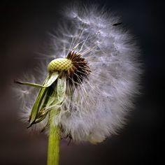 Photo dandelion by BO LED on 500px