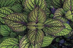We round up 10 of the fastest-growing and most trouble-free coleus plant varieties. They're amazingly colorful and vibrant additions to your garden.
