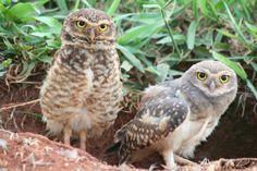 Coruja Buraqueira e seu filhote - Burrowing Owl and its nestling - (Speotyto cunicularia) 31 369 | por Flávio Cruvinel Brandão