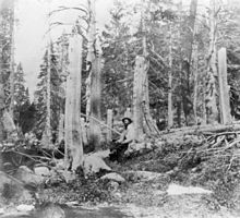 Stumps of trees cut at the Alder Creek site by members of the Donner Party, photograph taken in 1866. The height of the stumps indicates the depth of snow. Those who died here are: George Donner (60), Jacob Donner (56), Elizabeth Donner (45), Samuel Donner (4), Lewis Donner (3), Sam Shoemaker (25), James Smith (25), Joseph Reinhardt (30). Elizabeth Donner was the only one to be cannibalized here.