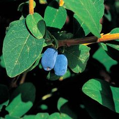 Awesome list of edible berry shrubs for landscaping.