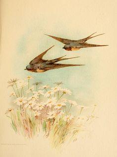swallows <3
