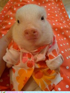 Funny pictures about In case you haven't seen a piglet in a sweater yet. Oh, and cool pics about In case you haven't seen a piglet in a sweater yet. Also, In case you haven't seen a piglet in a sweater yet. Cute Baby Animals, Animals And Pets, Funny Animals, Farm Animals, Animals In Clothes, Baby Pigs, Pet Pigs, Teacup Pigs, Mini Pigs