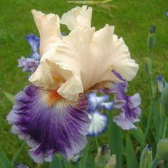 'Devilicious' TB Iris