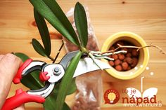 to Propagate Orchid Easily at Home How to DIY Orchid-Keiki-Pruning yourself at home. How to DIY Orchid-Keiki-Pruning yourself at home. Orchid Roots, Orchid Leaves, Orchid Plant Care, Orchid Plants, Phalaenopsis Orchid, Orchid Propagation, Growing Orchids, Growing Plants, Orchids Garden