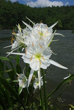 Native Plants for your garden Water Garden Plants, Bog Plants, Bog Garden, Types Of Plants, Native Plants, Trees And Shrubs, Trees To Plant, Cahaba River, Lilies Drawing