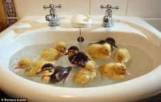 These ducklings were rescued by a farmer after they hatched earlier this week - six months before most broods.  Fearing they would perish outside, the farmer took them indoors and later put them in his bathroom sink for their first paddle.