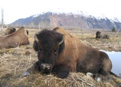 First wood bison head for release in southwest Alaska - Yahoo News Musk Ox, American Bison, Fur Trade, Majestic Animals, Rhinoceros, Red River, Big Cats, Alaska, North America