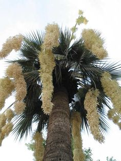 Brahea armata, The Blue hesper palm, despite its slow growth rate, is prized for its dramatic canopy of ice-blue leaves and long inflorescences. Exotic Plants, Exotic Flowers, Tropical Plants, Beautiful Flowers, Tropical Landscaping, Outdoor Landscaping, Plant Fungus, Unique Trees, Mediterranean Garden