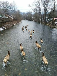 Elk walking down the River in during this week's snow! The reintroduction of the population to the Great Smoky Mountains National Park began in 2001 and 2002 with 52 elk. Nature Animals, Animals And Pets, Cute Animals, Wild Animals, Beautiful Creatures, Animals Beautiful, Cherokees, Nc Mountains, North Carolina Mountains