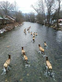 Elk in mountains of North Carolina                                                                                                                                                      More