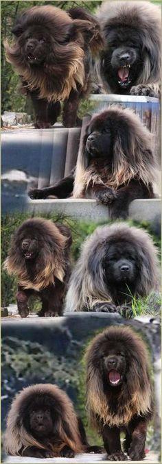 eu quero este cão!?!?  Uau!  O que um Mastiff tibetano!  por brookeO