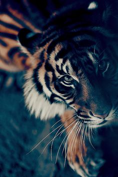 This is an animal that is a top predator. But because of human expansion...we have all but destroyed them. Of the 8 species that used to be, only 5 exist now, and we will lose more in a few years. Help them somehow...please!!! It has been my number one fight in life...SAVE TIGERS!!!