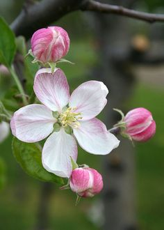 Apples actually come from the rose family, so do strawberries, blackberries, and blueberries! Roses have petals in groups of 4 or 5.