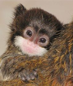 On Christmas Eve 2012, two little emperor tamarin twins were born at the Banham Zoo in England. The little ones are starting to explore and venture away from their family. How adorable is this cutie?