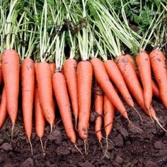 Vegetable Garden Plants: Growing Carrots In Pots And Containers