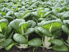 Bok Choi Bopak - A very classy white-stemmed variety with erect dark green and glossy leaves. Very uniform with smooth leaf margins. An All America's Selections 2015 Regional Award Winner! Fall Vegetables, Planting Vegetables, Vegetable Gardening, Fall Crops, Earwigs, Cucumber Beetles, Victory Garden, Square Foot Gardening, Fall Plants