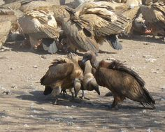 Vultures in Shelanti, Limpopo, South Africa