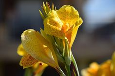 Calla and canna lilies are garden plants that lend a tropical flair to Minnesota landscapes. Canna Lily, Canna Flower, Flower Pots, Garden Soil, Garden Plants, Indoor Plants, Container Plants, Container Gardening, Minnesota Landscaping