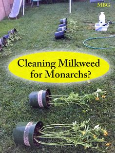 butterfly garden To rinse or disinfect milkweed plants in containers, lay them down on the ground or hanging off a table so youre also able to clean underneath milkweed leaves to prevent monarch diseases. Container Plants, Container Gardening, Gardening Tips, Flower Gardening, Butterfly Garden Plants, Butterfly Feeder, Milkweed Plant, Hummingbird Garden, Hummingbird Flowers